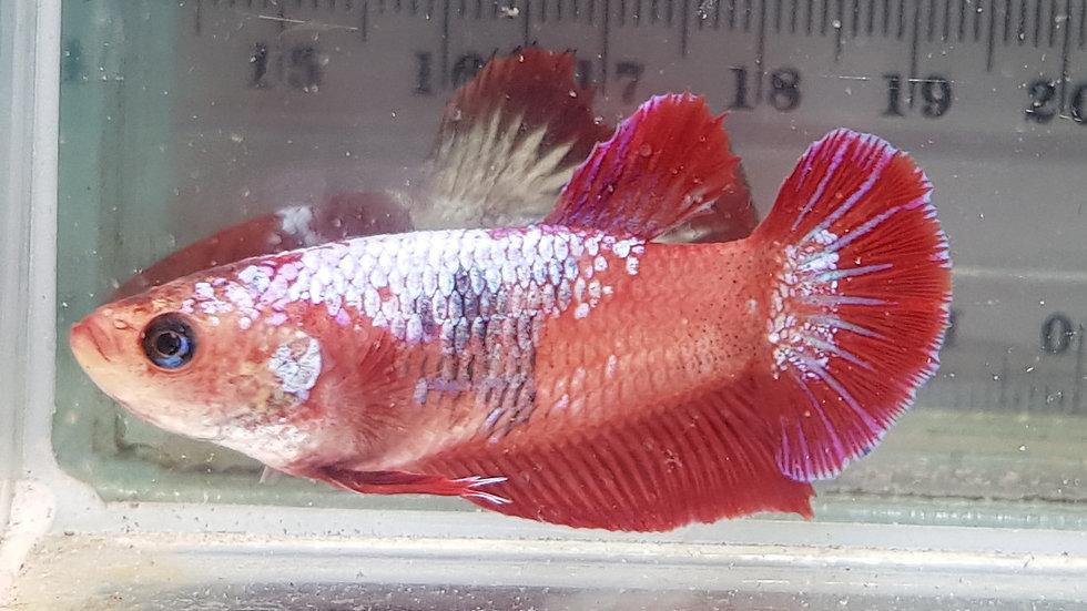 Red Fin Fancy Dragon HMPK Female (020210)
