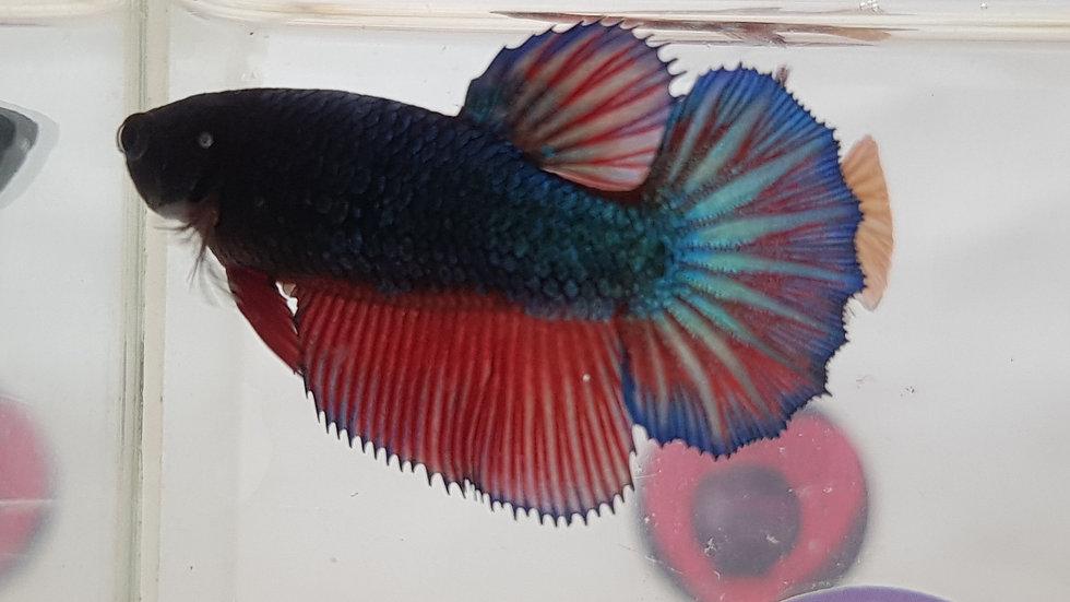 Blue Red Fancy Halfmoon Betta Female (040125)