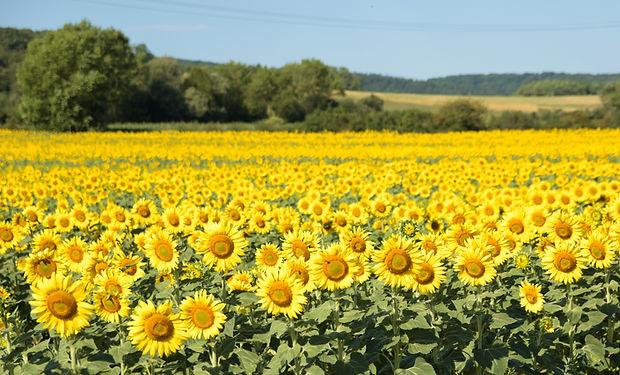 sunflowers-6282647.jpg