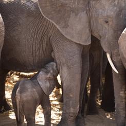 Baby elephant, feeding!