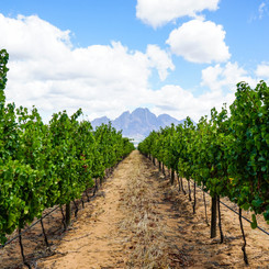 Vines galore in the Franschhoek Valley
