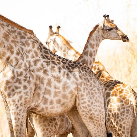 Juveline giraffe with family