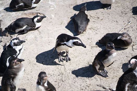 African Penguins South Africa (4 of 6).j