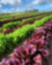 Baby Lettuce in the Santa Maria Valley.j