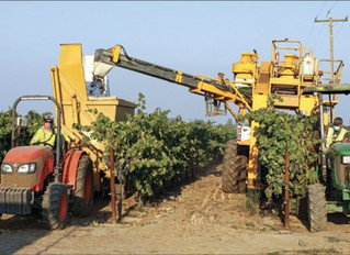 Winegrape growers face unusual season