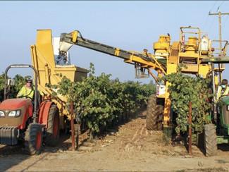 Winegrape growers face unusual season