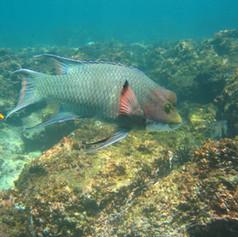 Lacks_parrotfish (002).jpg