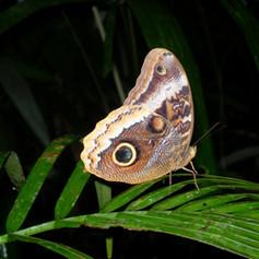 Owl Butterfly (004).jpg