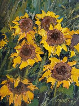 Carl Junction Sunflowers
