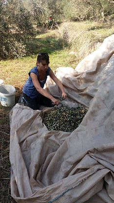 Olive picking Šipan