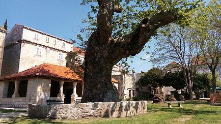 An old oak in front of church in Šipanska Luka