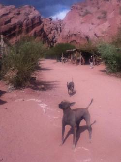 Local dogs, Northwestern Desert