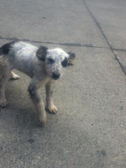Chiloe island dog