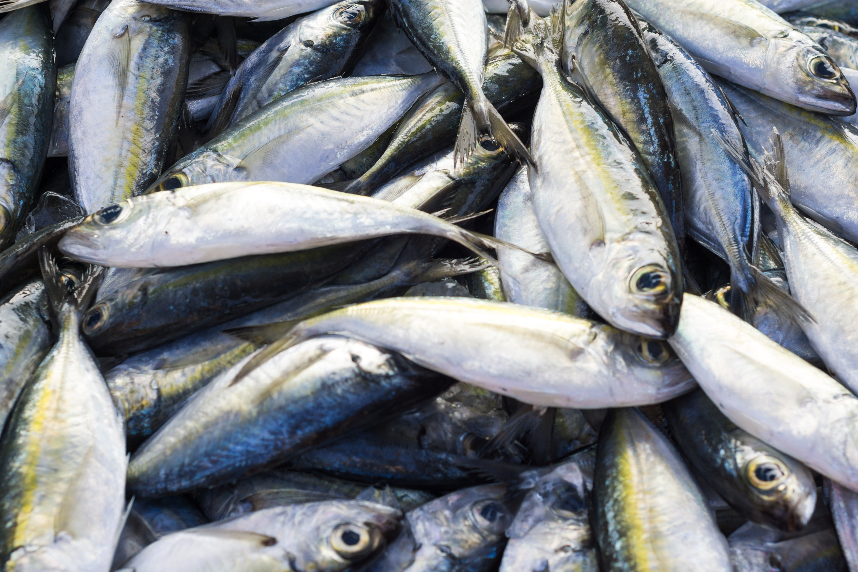 Fresh Raw Mackerel Fish In Market