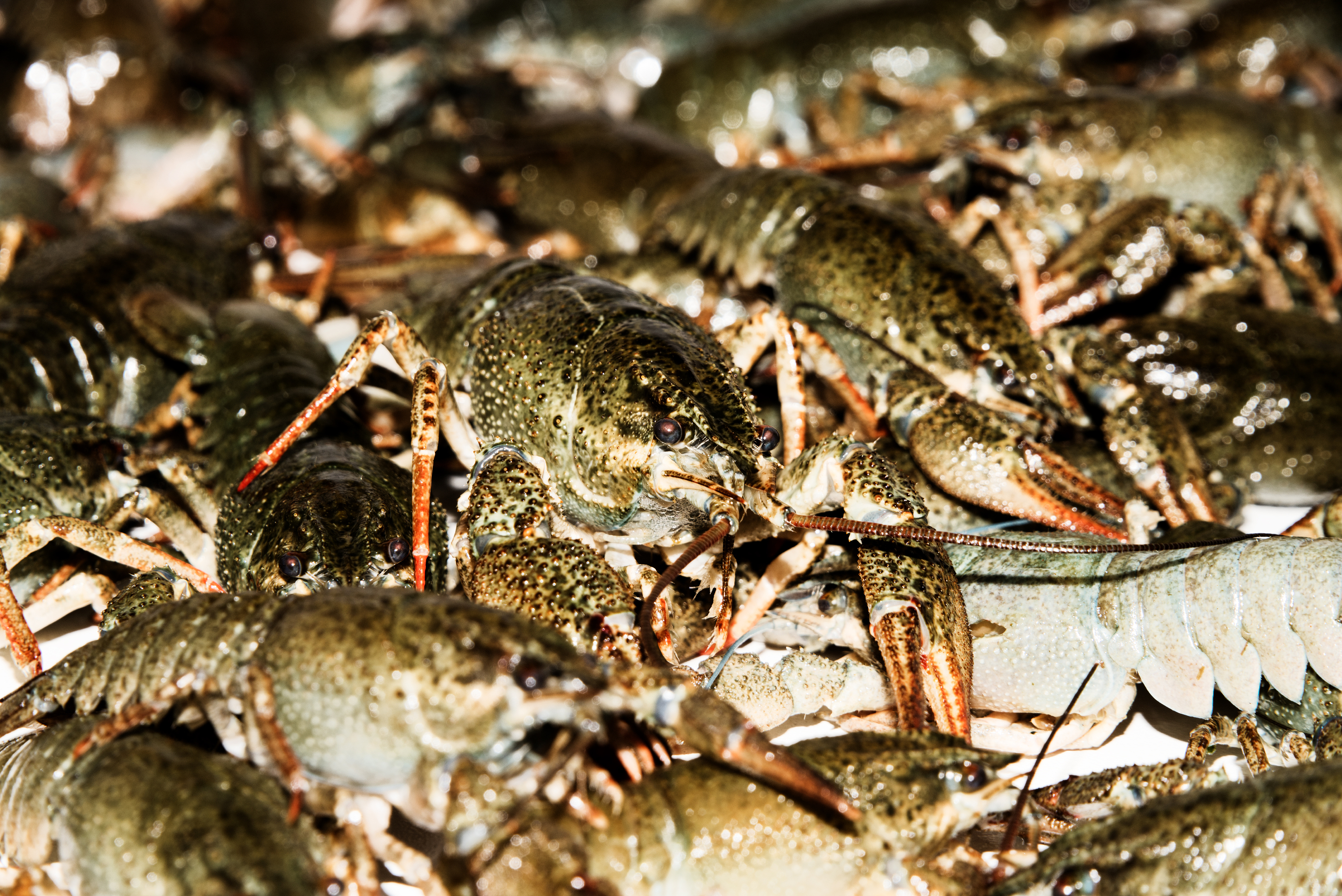 West Coast Crayfish