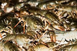 West Coast Crayfish