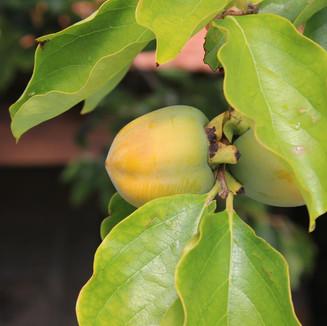 Arvores de Fruta