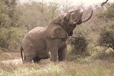 African Bull elephant kulula