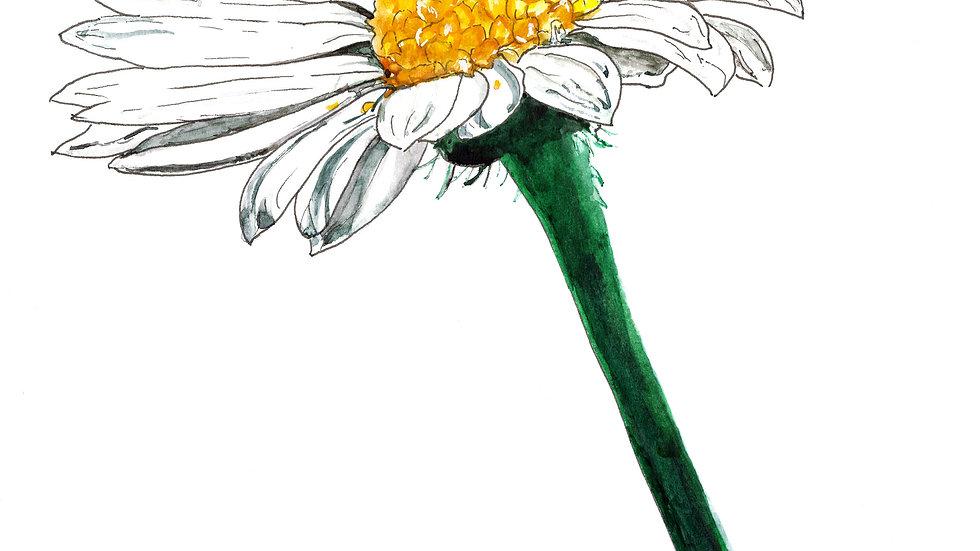 Daisy Watercolour Painting