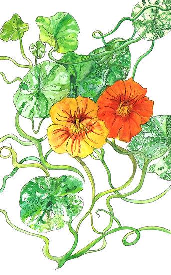 Nasturtiums Watercolour