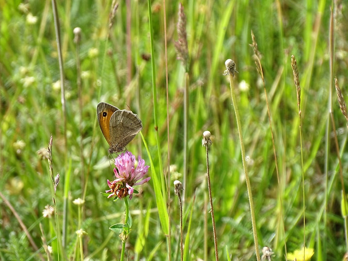 Meadow Brown.jpg