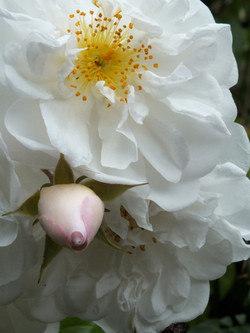 Unidentified Rose