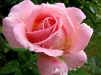 Pink_Rose_In_The_Rain_(216504571) (1).jp