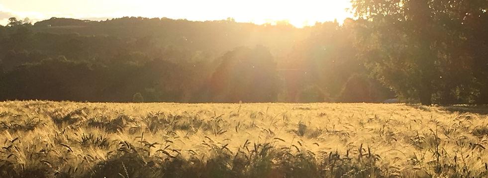 Barley 1_edited.jpg