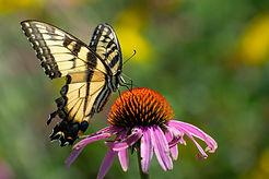 yellow swallowtail-2.jpg