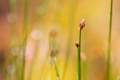 raindrops resting on a tip of grass.  Yello and golden light surrounds it.
