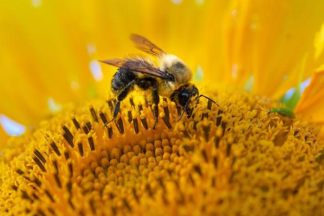 bee on sunflower-3.jpg