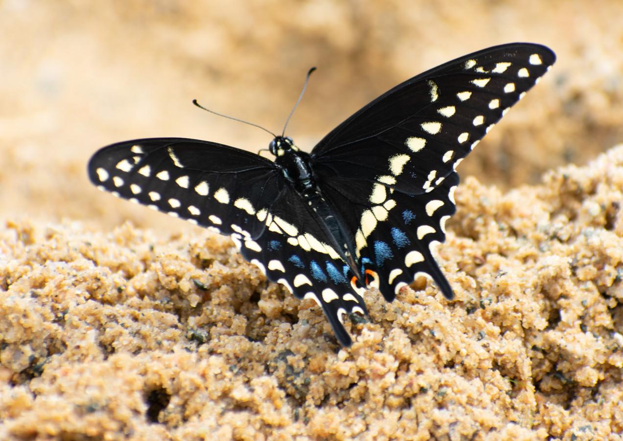 Sandy the Swallowtail (B-019)