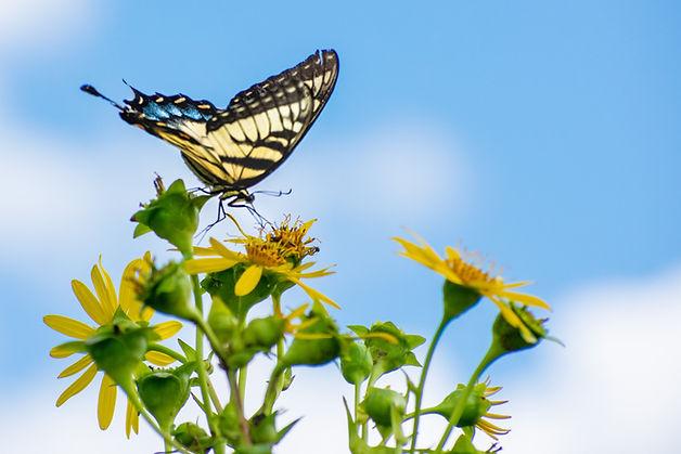swallowtail-4.jpg