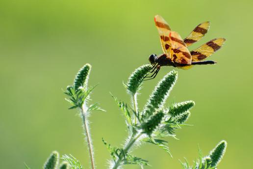Dragonfly (N-007)
