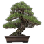 FAVPNG_chinese-sweet-plum-indoor-bonsai-