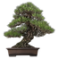 FAVPNG_chinese-sweet-plum-indoor-bonsai-