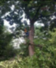 Tree removal in Carmel Indiana