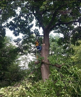 Tree removal in Carmel Indiana