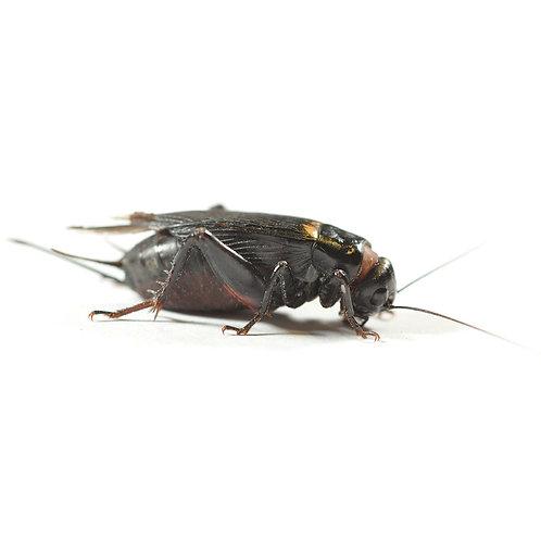 Black Crickets