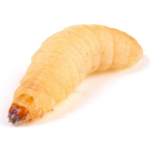 Waxmoth Larvae, (Waxworms), 15-20mm