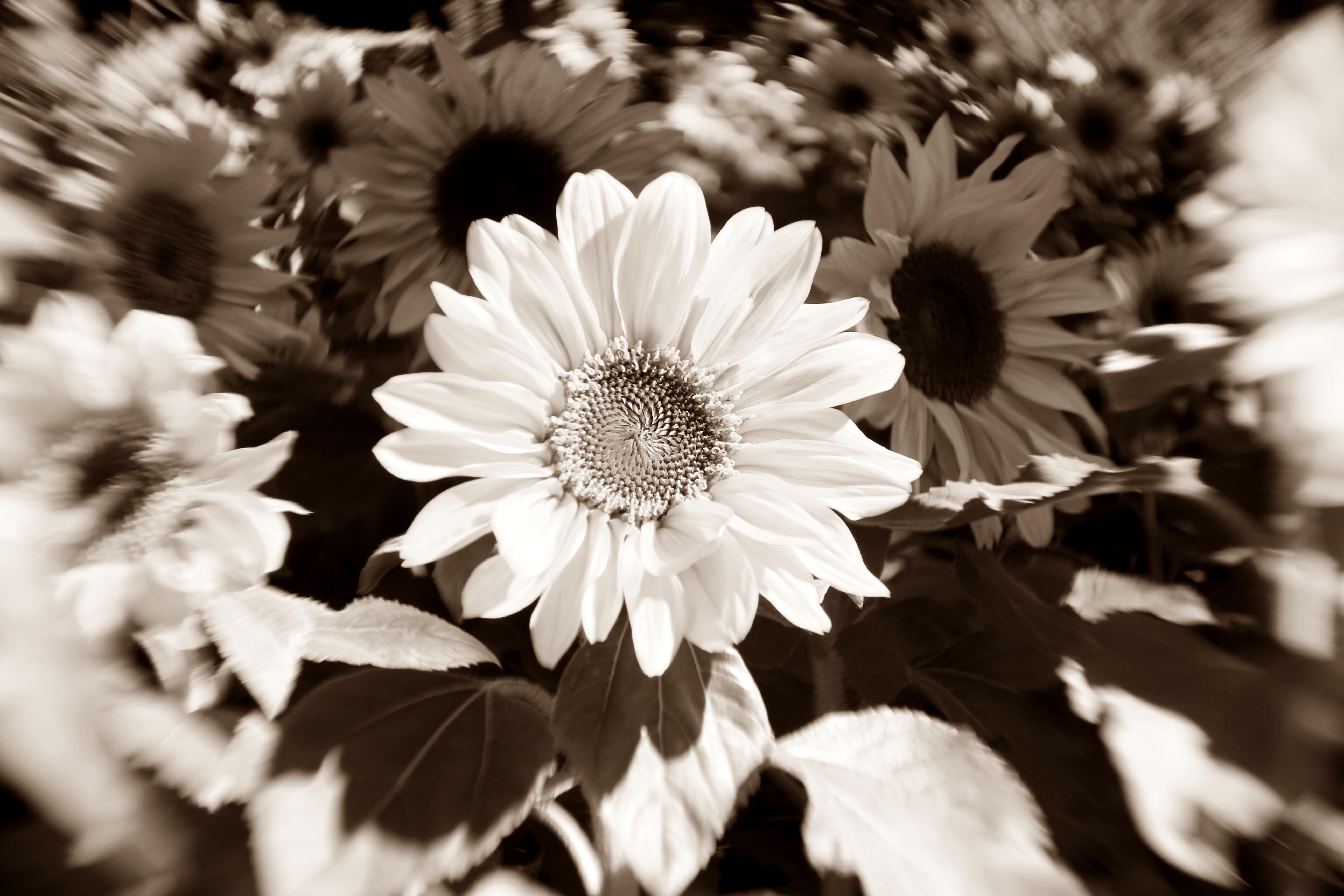 sonnenblumen anders