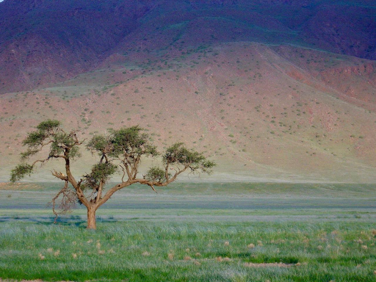 Omumbonde - ein Kameldornbaum