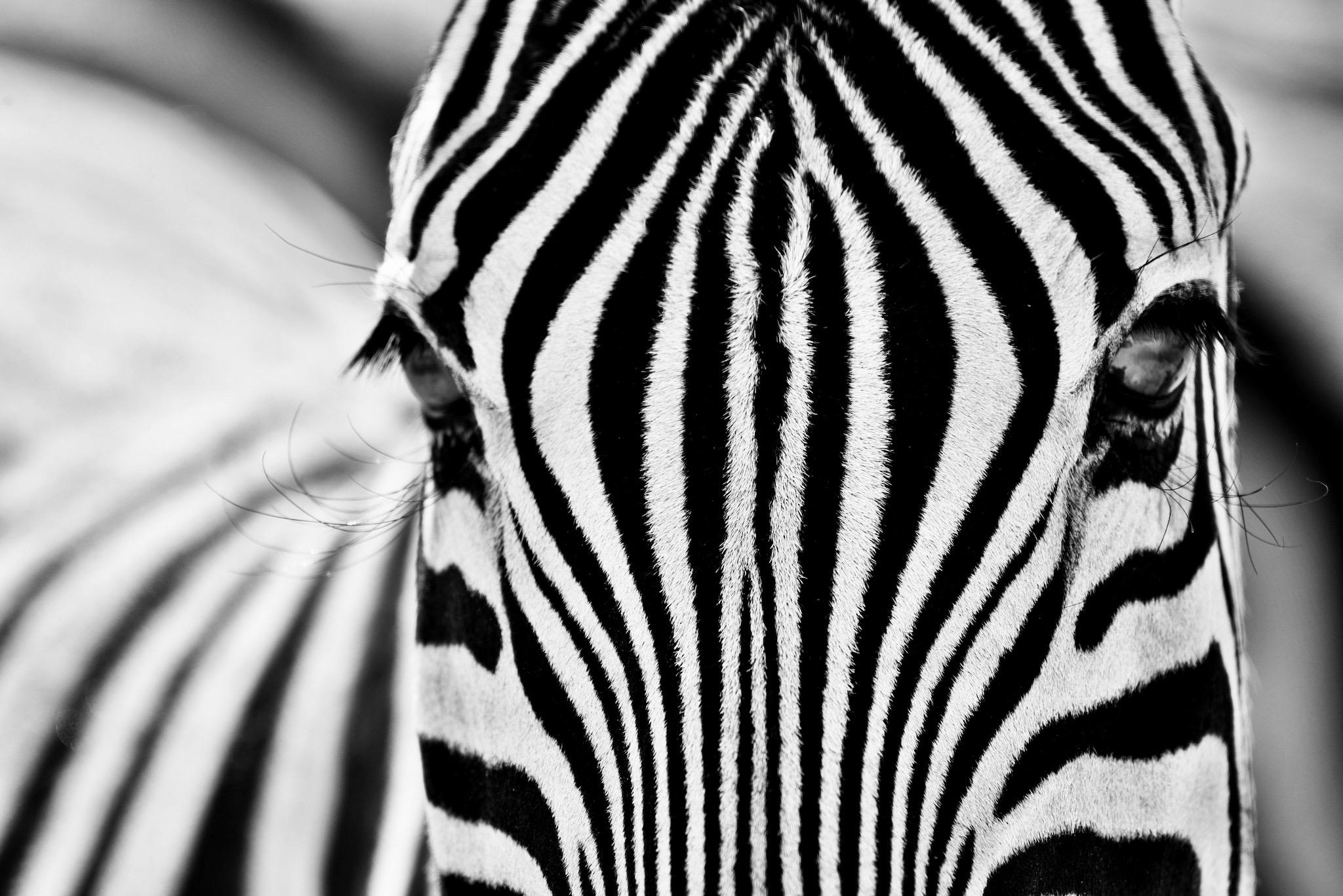 Zebra - geheimnisvolle Muster