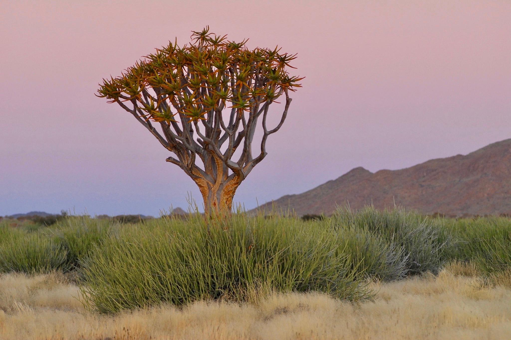 Köcherbaum im Abendlicht