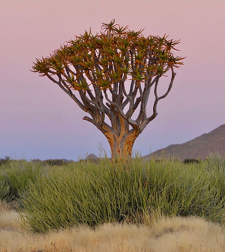 Köcherbaum im Abendlicht, ©Helmut Schäfer - Cheetah Tours & Safaris Namibia