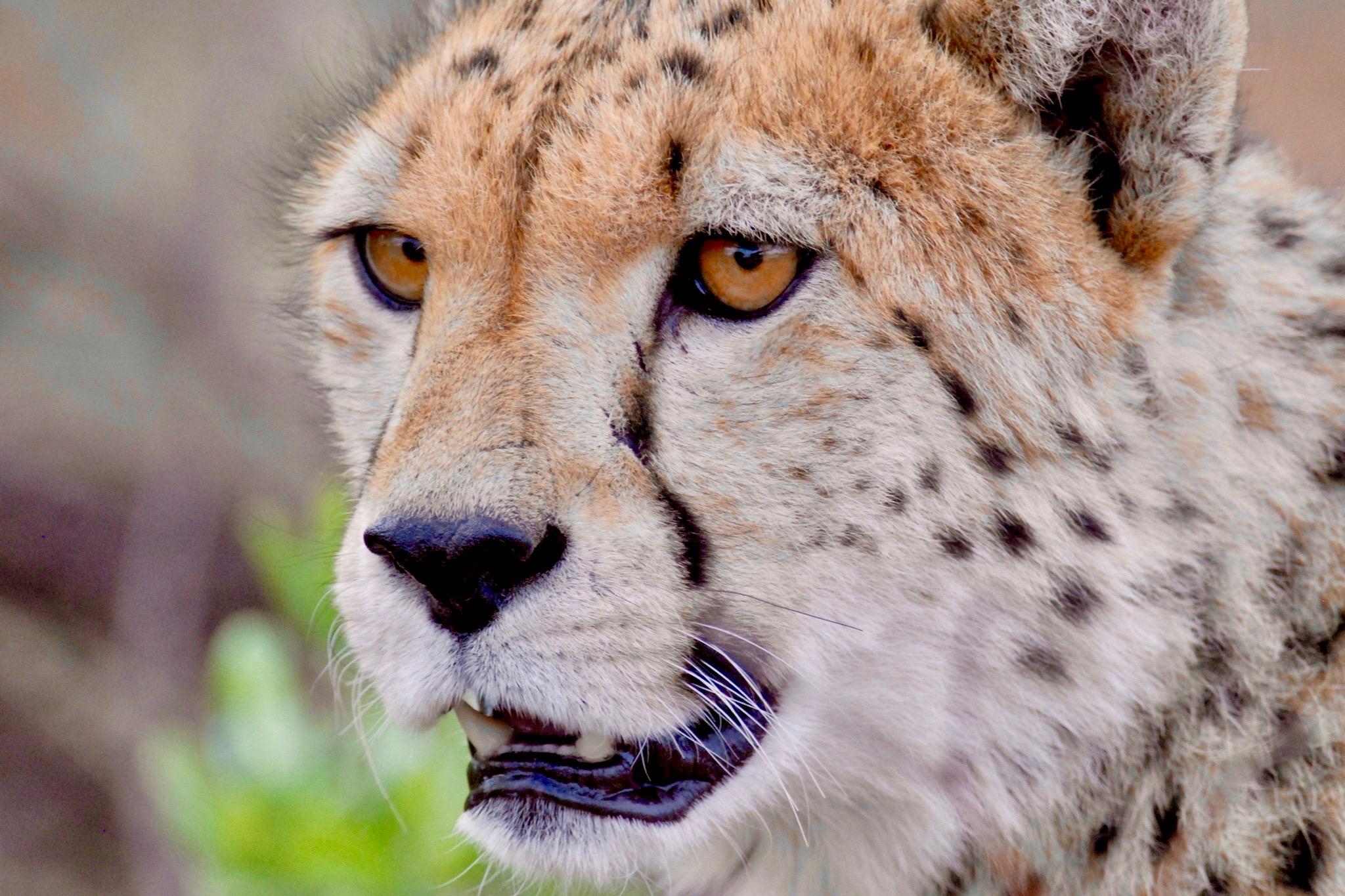 Gepard, das schnellste Wesen an Land