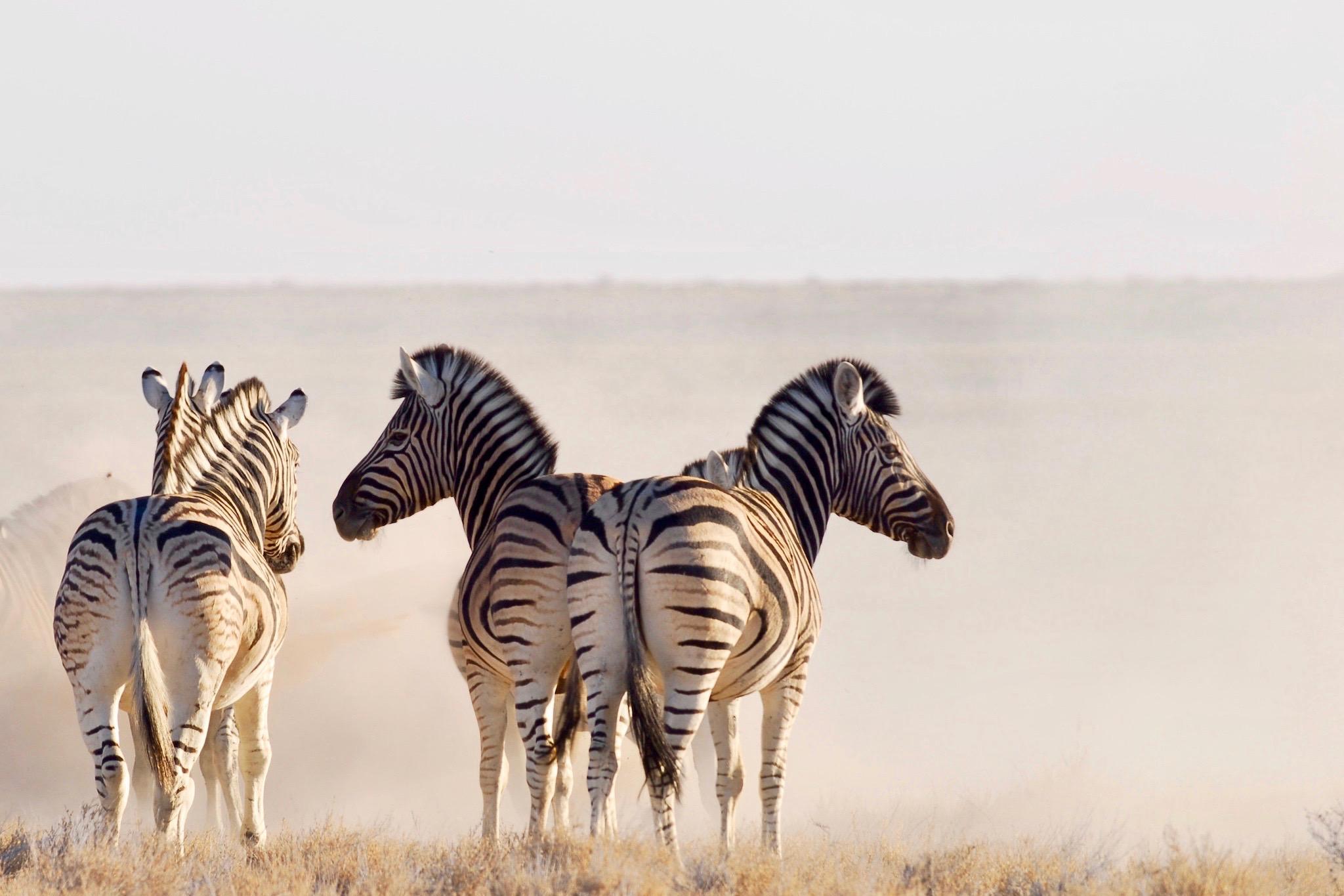 zebras-etosha_cheetah-tours-safaris-nami