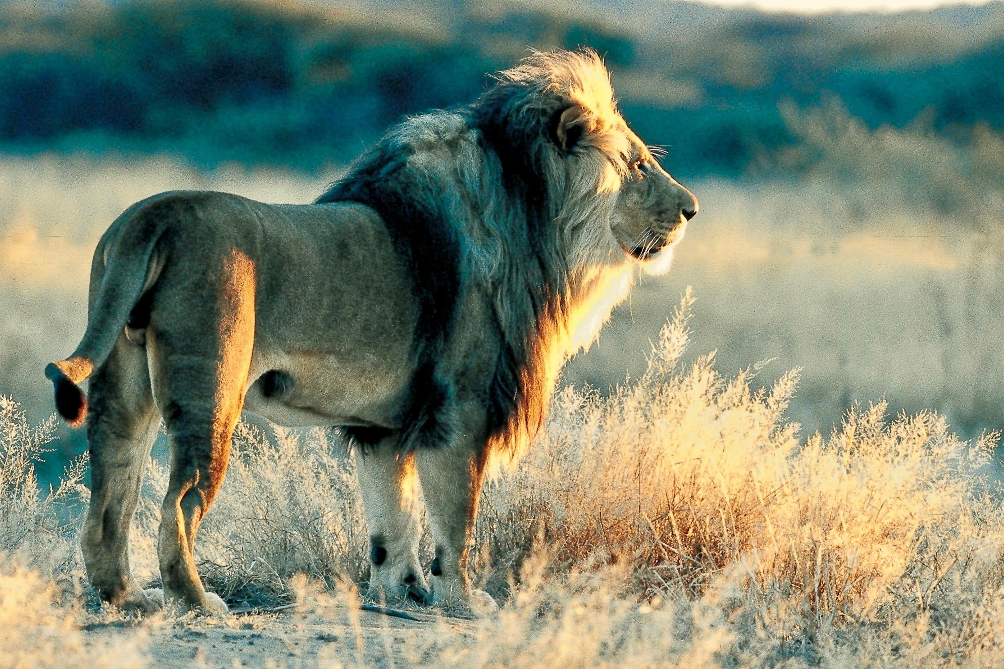 Löwenmännchen in der Savanne