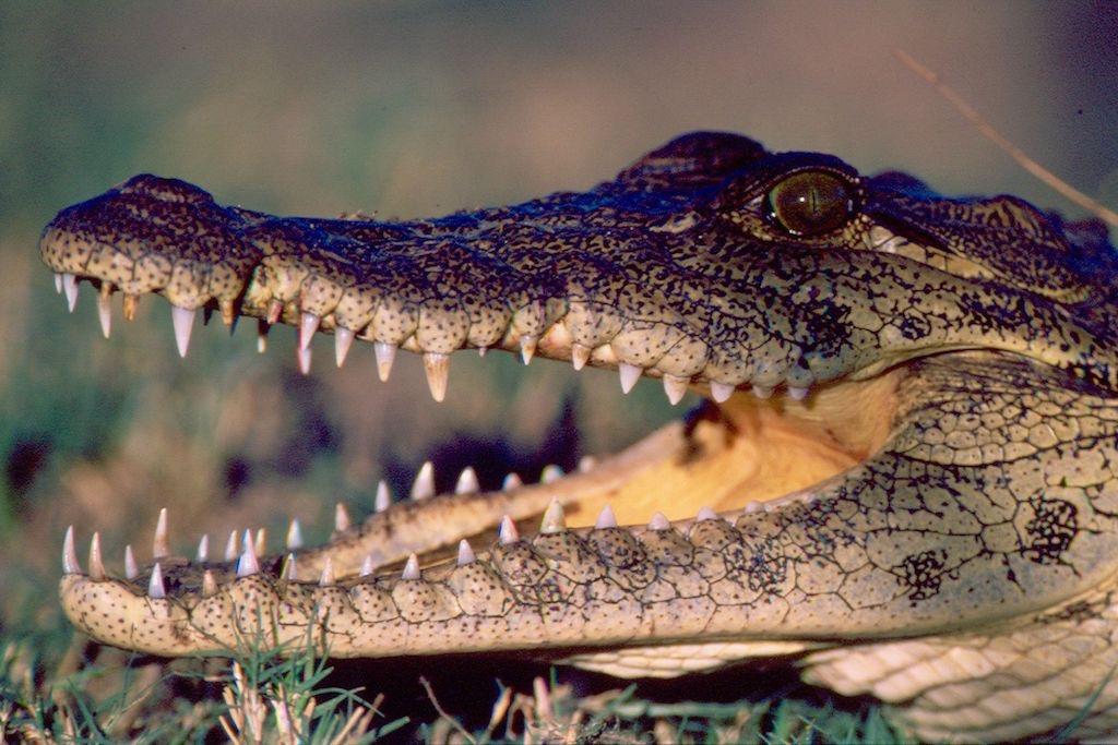 Krokodile kommen hauptsächlich an den Grenzflüssen Namibias vor