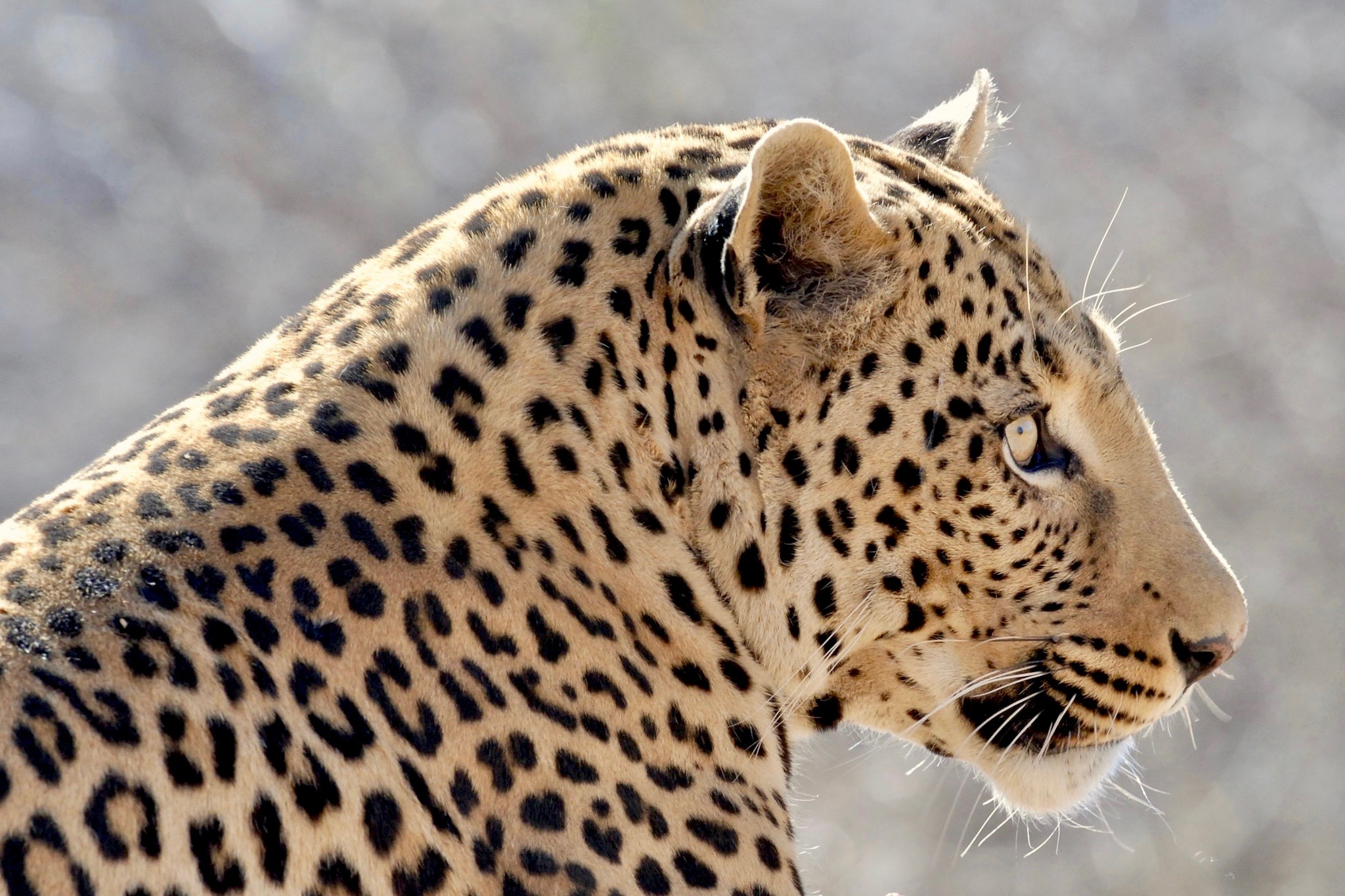 Leopard auf Okonjima - AfriCat